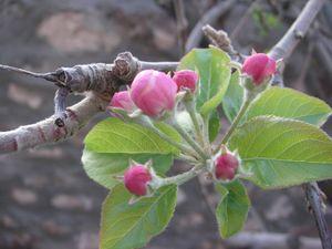 Apple-Tree-Bloom
